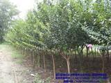合作社紫薇种植基地