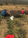 红叶石楠起苗照片1