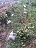红叶石楠起苗照片2